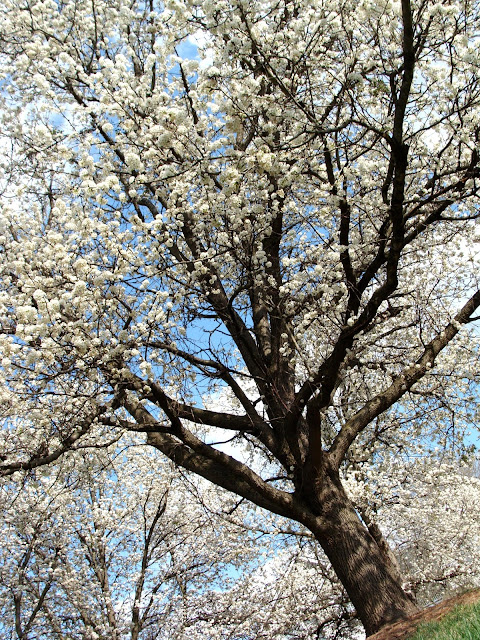 clusters of white flower blooms on tree in spring