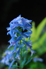 Corydalis 'Wildside Blue'