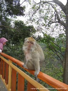 Monyet yang Berkeliaran di Sekitar Curug Cimahi