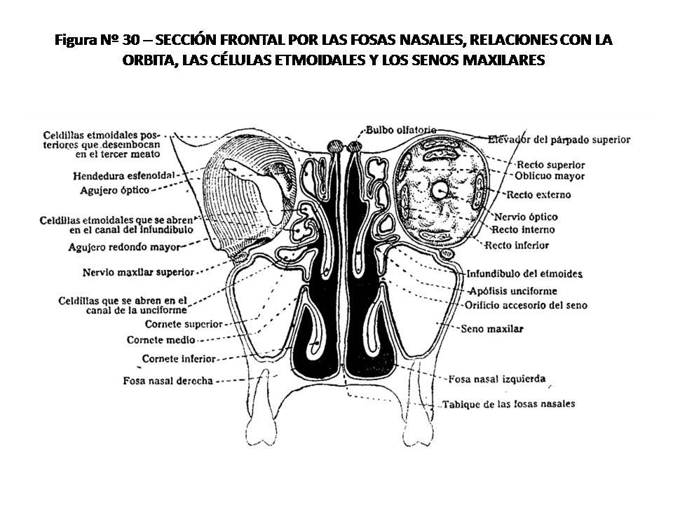ATLAS DE ANATOMÍA HUMANA: 30. SECCIÓN FRONTAL POR LAS FOSAS NASALES ...