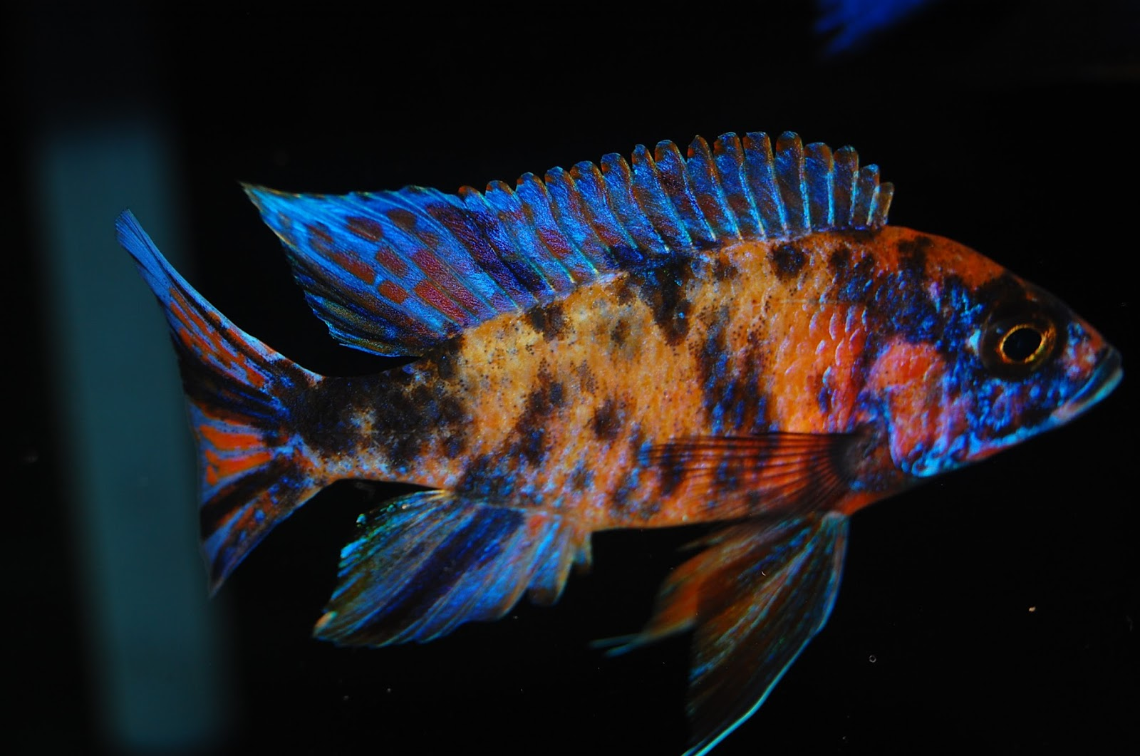 Ruby red cichlid female - photo#8