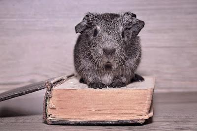 Świnka morska czytająca książkę