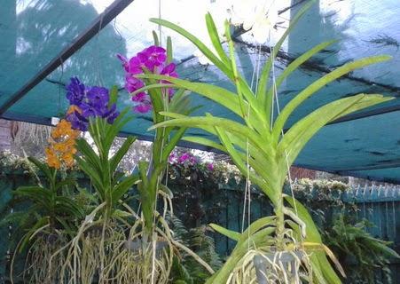 Image Led Grow Vanda Orchids 3