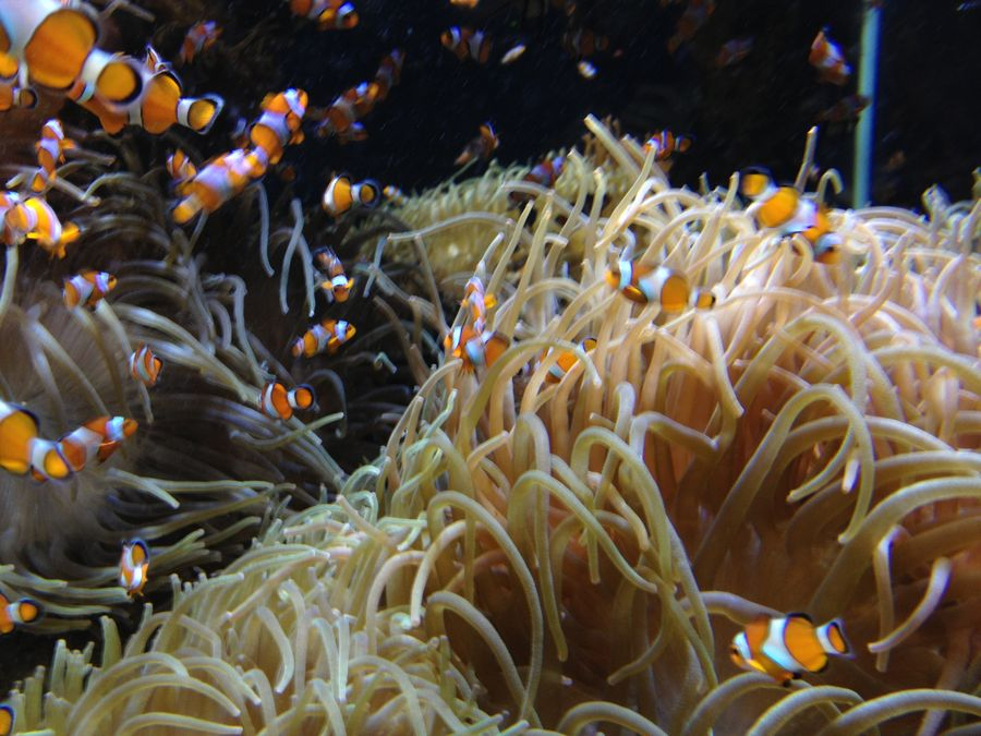 Clown fish pictures clown fish facts for What do clown fish eat
