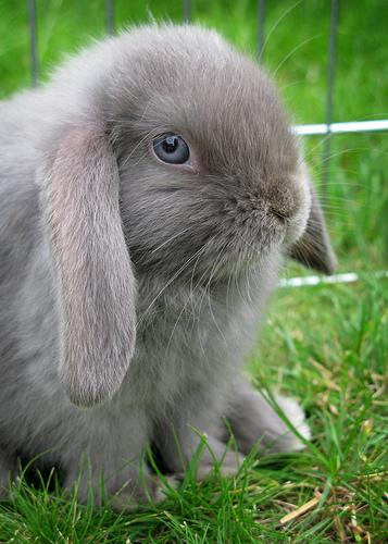 Gray baby bunny