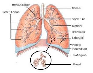 Sistem Pernapasan (Respirasi) pada Manusia