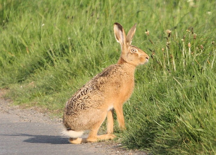 Ring Species Hare