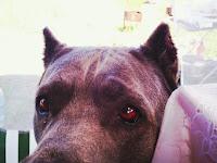 Собака Кира