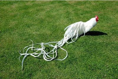 Onagadori, ayam unik memiliki ekor yang panjang
