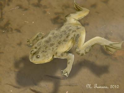 anfibios fosiles Palaeobatrachus