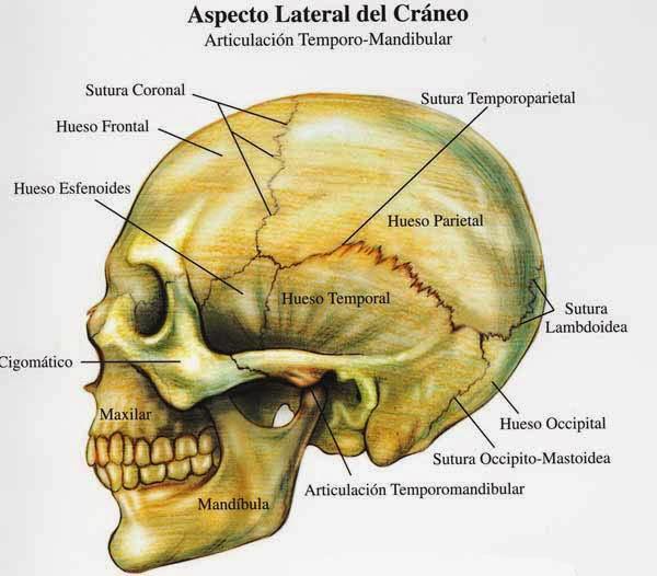 Morfofisiología I: CRÁNEO