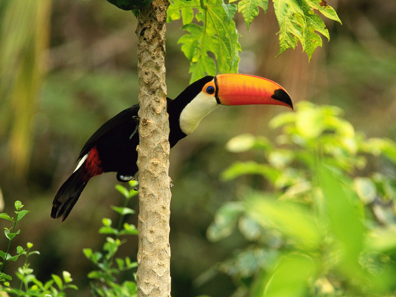 toucan bird information facts