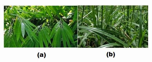 (a) Daun bambu, (b) Daun rumput teki