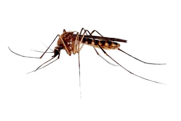 Nyamuk. Kotabumi Lampung Utara