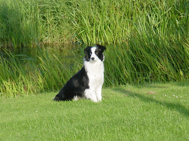 BJ onze border collie