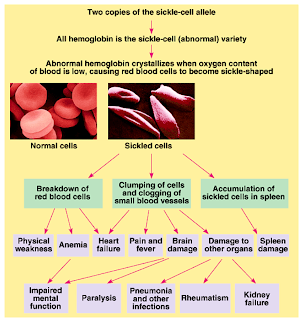 the connection between malaria and the sickle cell disease Sickle-cell anemia is a disease that has a short life expectancy, but carriers of this disease are resistant to the sickness malaria sickle-cell anemia and malaria connection   dragonflyissuesinevolution13 wiki   fandom powered by wikia.