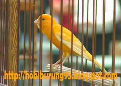 Tips dan Cara Merawat Burung Kenari Bahan