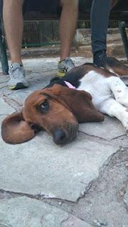 Βρέθηκε θηλυκό basset hound στην περιοχή του Παπάγου πριν 10 μερες. Ειναι περιπου 7-8 μηνων. Την ψάχνει κανείς?