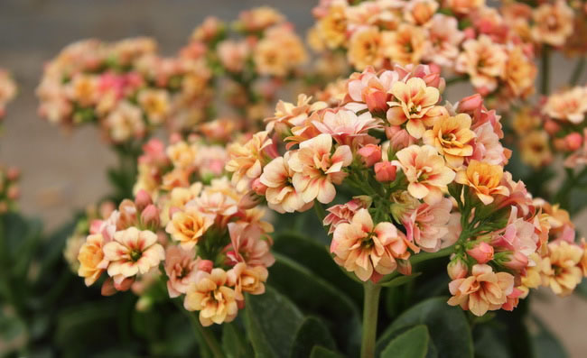 Kalanchoe Flowers Pictures