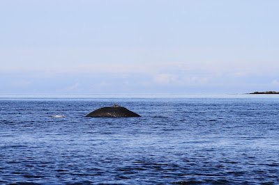 Whale Surfacing Near Alexander Island