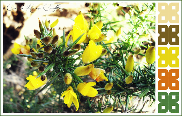 Gorse bush, Whins, Scottish gorse, Gorse flower