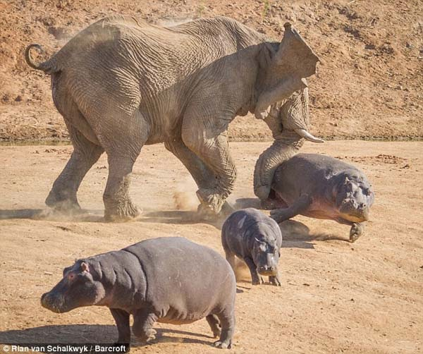 This fully grown hippopotamus and her offspring got a little TOO close to elephants grazing nearby.