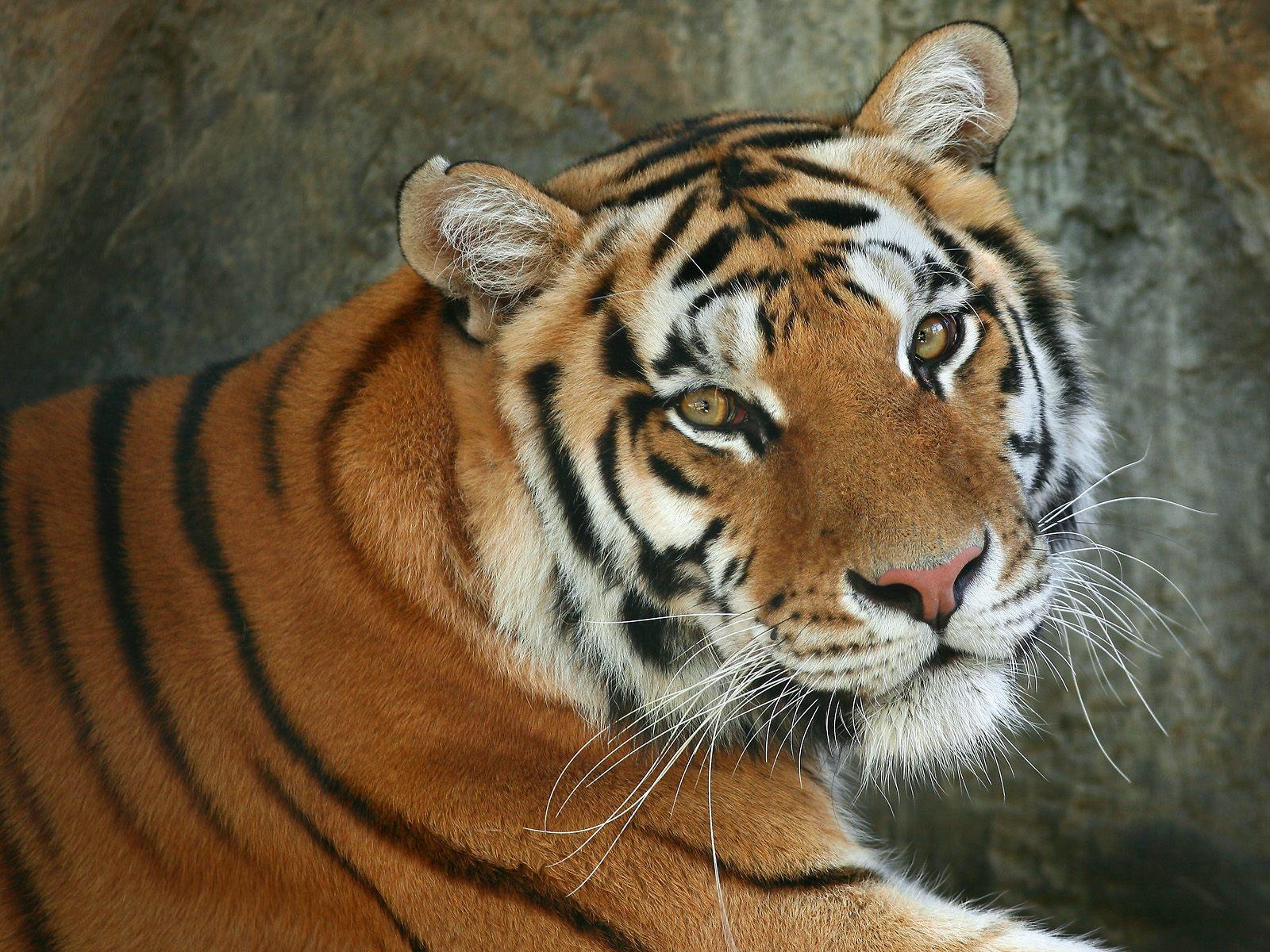 http://1.bp.blogspot.com/-S1XGd3UMG7A/TqxlQoWh8gI/AAAAAAAAAH8/KC1aJtzVFl0/s1600/A+Regal+Bengal+Tiger.jpg