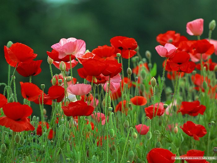 amazing red flower wallpapers - photo #13
