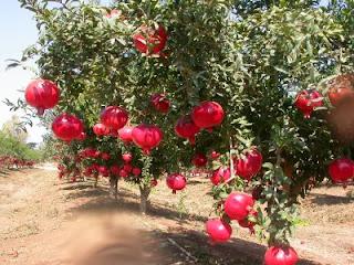 Manfaat dan Kandungan buah Delima