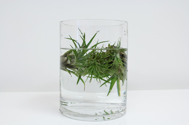 airplant submerged at periwinkle flowers