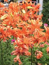 Flora Peno Lily