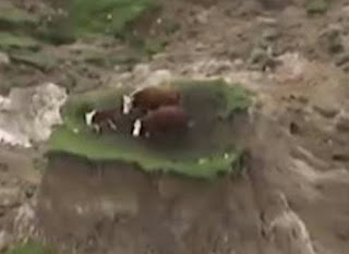 Cows on an island after earthquake NZ