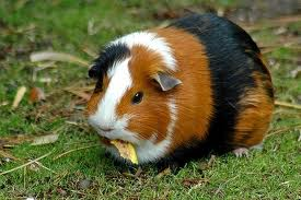 Guinea Pigs picture