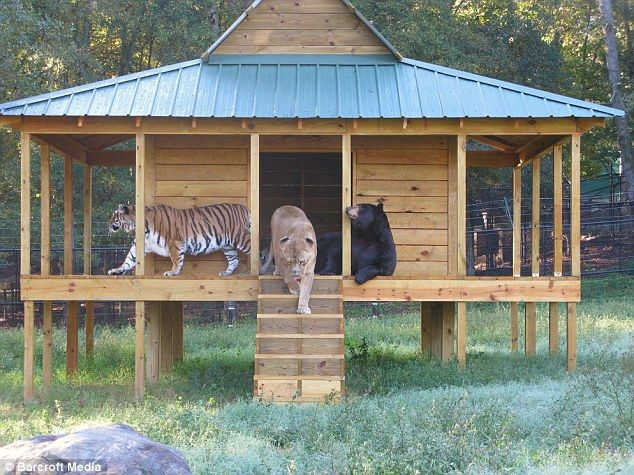 Bear, Lion and Tiger Living Together