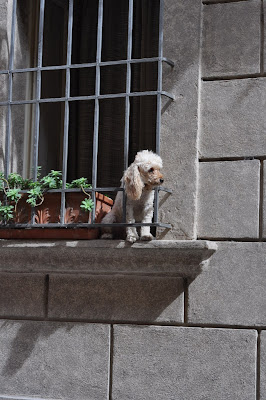 Dog in the Window in Montepulciano, Italy - Photo by Taste As You Go