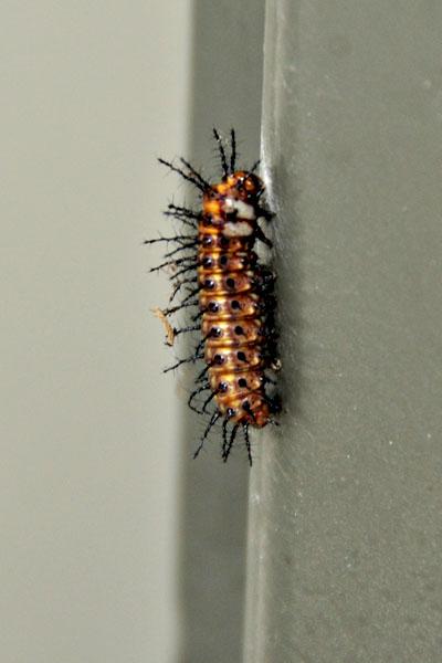 Crosslands Reserve caterpillar