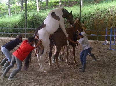 gambar kuda kawin dipaksa orang