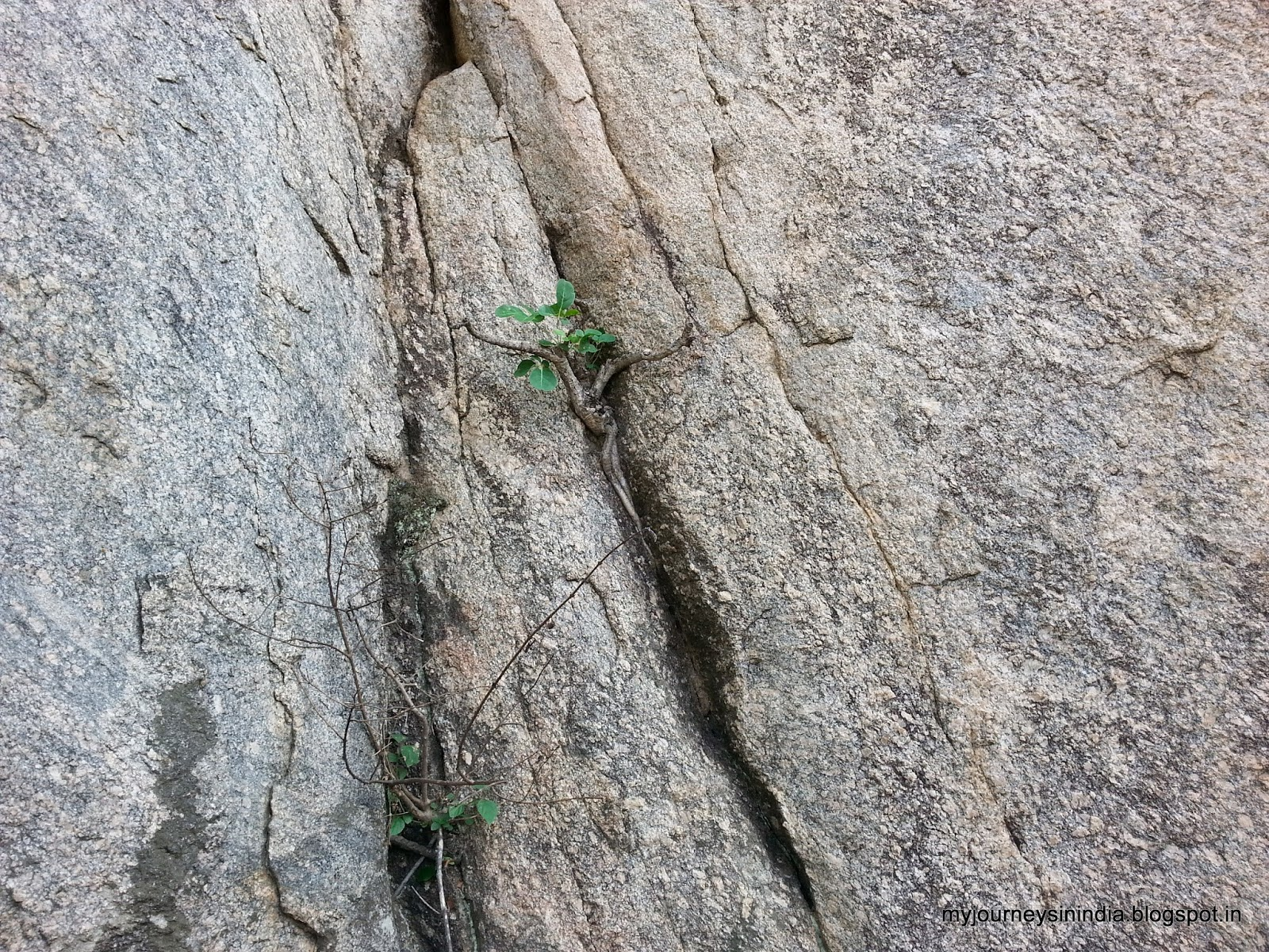 Trees growing on rocks - Devarayanadurga
