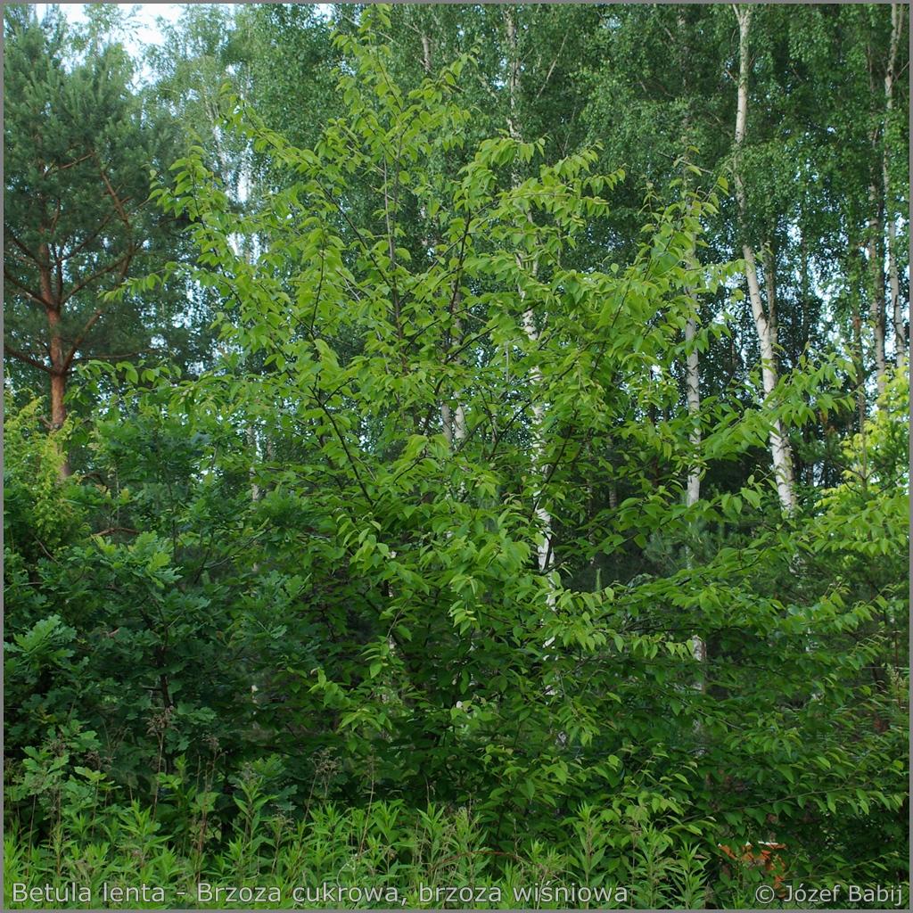Betula lenta Growth Habit    - Brzoza wiśniowa, brzoza cukrowa  pokrój