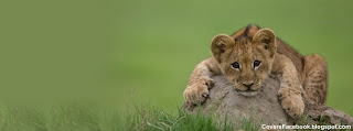Cute Lion Cub Sitting on Rock Photos for Facebook
