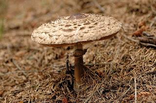 Macrolepiota rhacodes - parasol de carne roja, galanperna