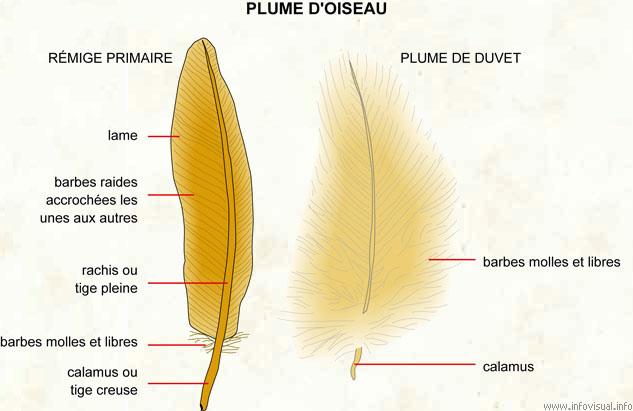 Du c t de chez elysia chlorotica novembre 2012 - Signification des plumes d oiseaux ...