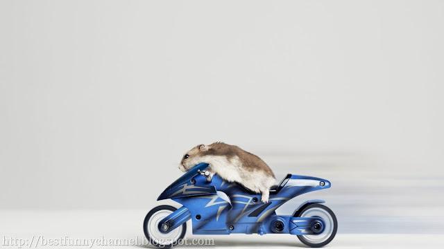 Turbo hamster.