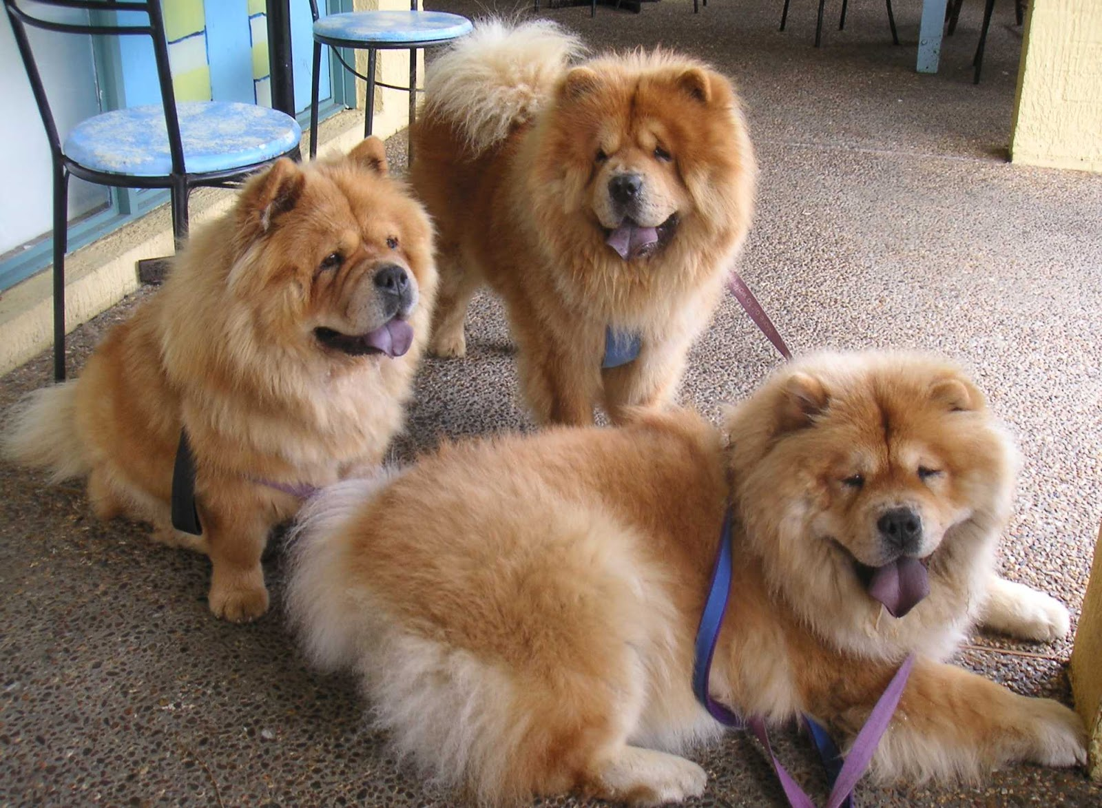 Chow chow dogs latest facts and pictures all wildlife photographs - Images of chow chow puppies ...