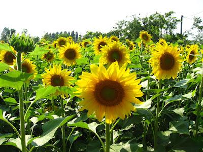 fotos de flores - flor de girasol
