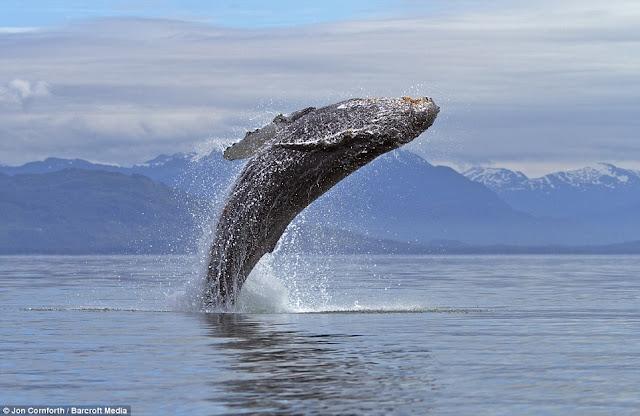 صـــــور مذهـلة للحيتان الحدباء وهي ترقص في مياة المحيط الهادئ في ألاسكا  Humpback%20whales06