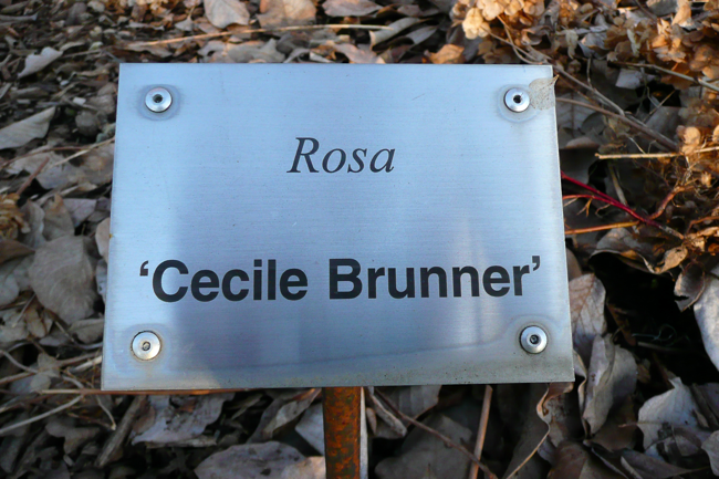 Rosa, Cecile Brunner, cedar creek oregon