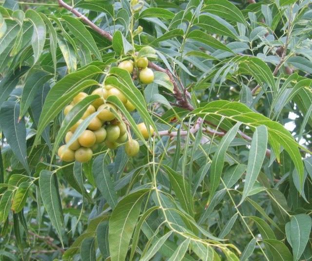 Benefits Of Soapnut (Sapindus Mukorossi) For Health