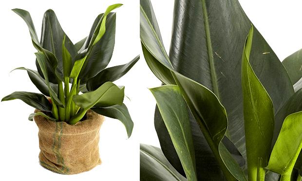 A cura plantas de interiores e seus efeitos terap uticos - Plantas grandes para interiores ...