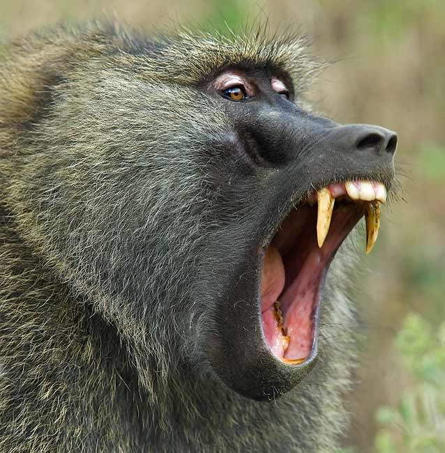 A Baboons But Encyclopaedia o...